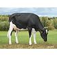 Asmo Nikka (VH Bolus) 4764  grazing.jpg