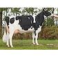 VH Proud daughter no 34242-3778 from Tronsmark Holstein_Bindslev.jpg