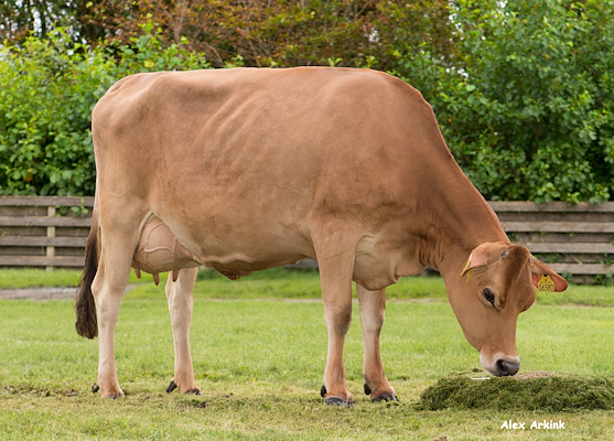 VJ Lari daughter no 35582-6580 from Alstrup IS_Brønderslev - grazing.jpg