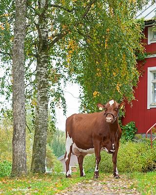 VR Vilde daughter no 11847418 (Myrna) from Ahonen Ari_Askola - scenic2.jpg